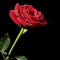 Roses Wallpapers – HD Backgrounds icon