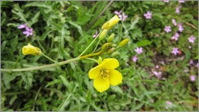 Photo: Turda - Piața Romană, Puturoasă (Diplotaxis tenuifolia) - 2019.05.16