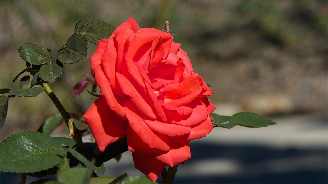 Strange Bug On Beautiful Rose.jpg