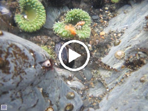 Video: These guys are vicious!  Even a small crab tries to get a bite.