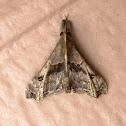 Faint-Spotted Moth