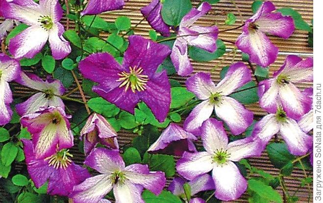 Клематис фиолетовый (C. viticella) 'Minuet'