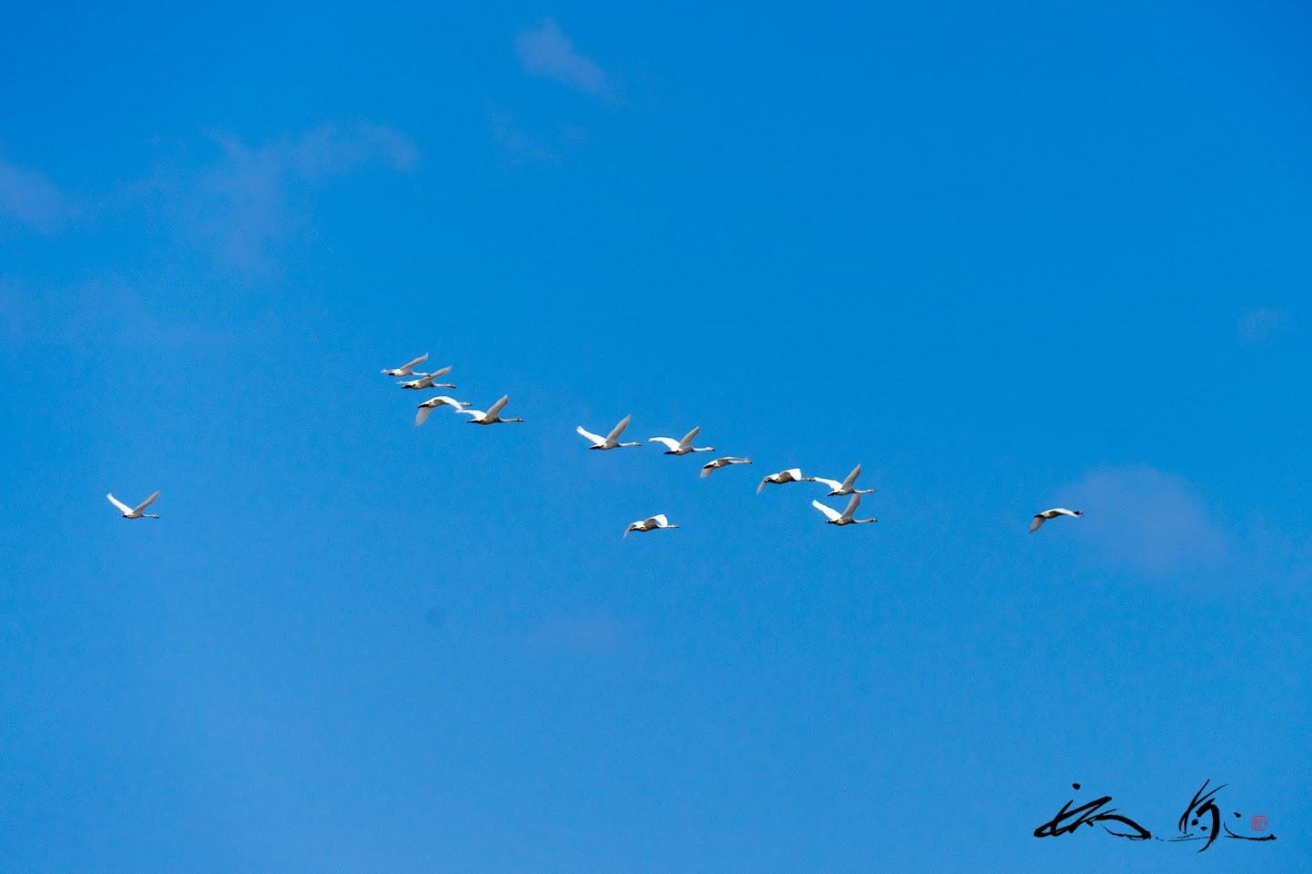 大空を飛び回る白鳥のように!