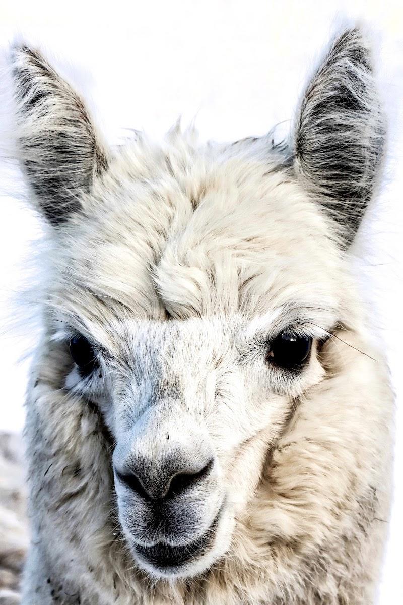 L'alpaca  di Capirizzo