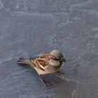 Florida Grasshopper Sparrow