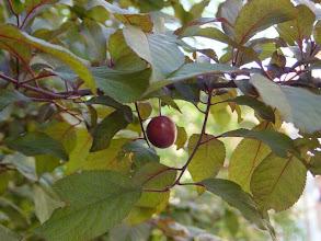 Photo: Hojas y fruto del ciruelo de Pissard
