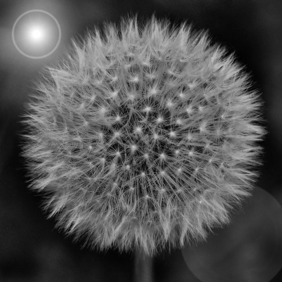 by Slavko Marčac - Black & White Flowers & Plants