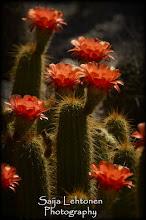 Photo: Red Torch Cactus © Saija Lehtonen  #Floral #Cactus #Flowers #Arizona #Nature