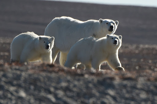 Cruise the Bellot Strait of Canada for closeup views of polar bears.