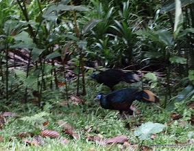 Photo: Crested Fireback (late evening shot), Borneo Rainforest Lodge, Danum Valley