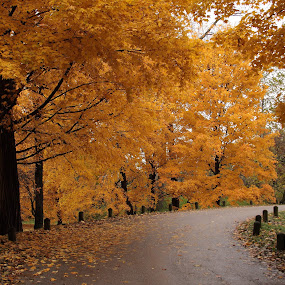 Around the Bend by Lyle Hatch - Landscapes Forests ( seasonal, autumnal, changing seasons, park, posts, yellow, road, leaves, falling leaves, autumn, foliage, fall, arboretum, gold, autumn splendor,  )