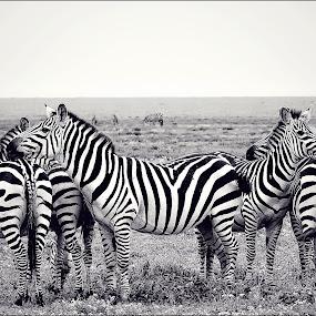 Zebra family by Savio Joanes - Animals Other