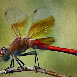 Red Dragonfly by Gaylord Mink - Digital Art Animals ( dragonfly, limb, insect, digital art,  )