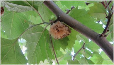 Photo: Arbore de gumă (Liquidambar orientalis) - de pe Str. Libertatii - 2017.06.19
