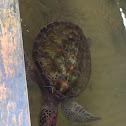 Green turtle (kola kasbawa)
