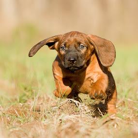Piszke by Zoltán Túri - Animals - Dogs Running