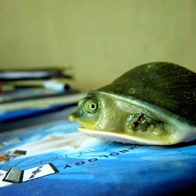 tortoise by Amal Vs - Animals Amphibians ( tortise, amphibian, turtle )