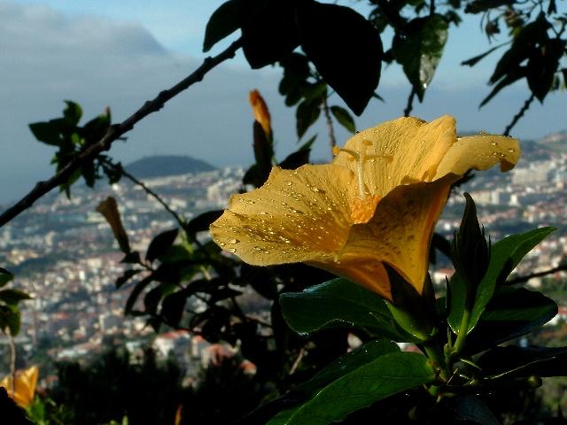 Fiore di Madeira di milton