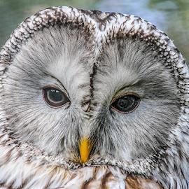 ural by Garry Chisholm - Animals Birds ( raptor, ural owl, bird of prey, nature, garry chisholm )