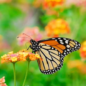 monarch2_roper mtn science center butterfly garden.jpg