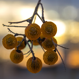Yellow Berries by Kathy Suttles - Nature Up Close Other Natural Objects (  )