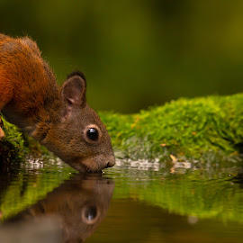 Thirsty squirrel by Istvan Somogyi - Animals Other Mammals ( red, squirrel, thirsty, nature, mammal, rodent, animal, water, wildlife,  )
