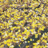 Quaking aspen foliage