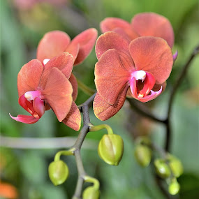 Peach Orchid by Scot Gallion - Flowers Flower Gardens ( green springs garden park, orchid, glass house, peach orchid,  )