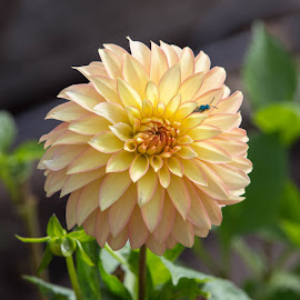 Yellow With Pink Edges by Janet Marsh - Flowers Single Flower ( pink and yellow, dahlias )