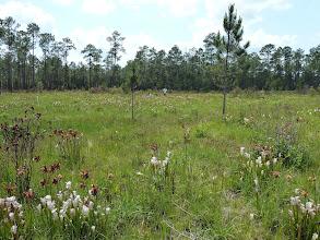 Photo: Sarracenia paradise at Splinter Hill Bog Preserve in Alabama.