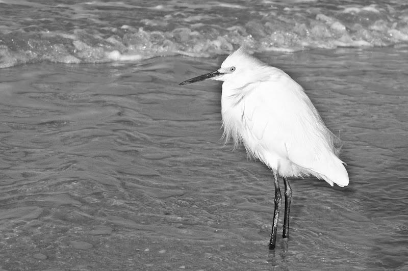 Photo: Snowy egret on the beach. Marco Island, Florida