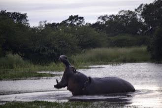 Photo: Unhappy hippo
