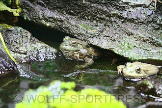 Photo: Opel-Zoo Kronberg, Wasserfrosch