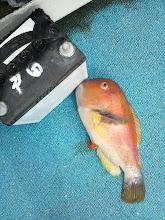 """Photo: ・・・魚は""""ハトポッポ""""。"""