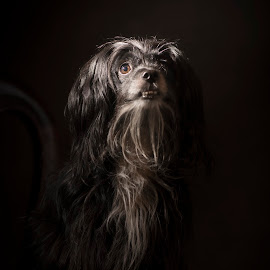 The Goodest Boy by Joshua Clifford - Animals - Dogs Portraits ( fur, mood, chair, black, handsom, portrait, cute, hair, puppy, dark, low key, family, dog, sitting, pet, sit )