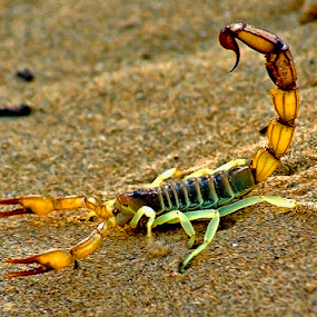 Scorpio by Bob Khan - Animals Insects & Spiders (  )