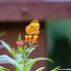 Cupha erymanthis 黃襟蛺蝶