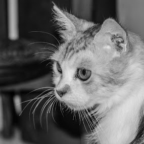 CAT by Frans Priyo - Animals - Cats Portraits ( cat, black and white, beautiful, animal )