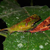 Leaf Mimic Grasshoppers