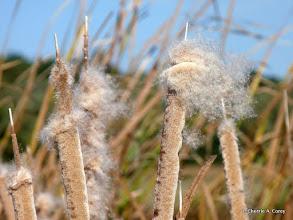 Photo: Cattail seeds take flight. Best