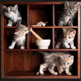 Kitten Display Cabinet by Paul Atcliffe - Animals - Cats Kittens ( cats, babies, family, kittens, cute )