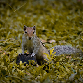 Chipmunk  by Avinash Nompi - Animals Other Mammals