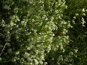 Photo: Galium sp. (palustre?) Advice welcome Low growing mass of long tangled stems supported by othe vegetation West Yorkshire road verge