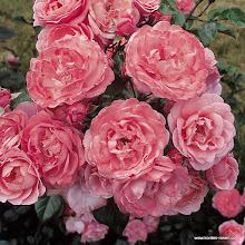 Photo: Strauchrose Mein schöner Garten®, Züchter: W. Kordes' Söhne 1997