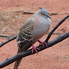Crested dove