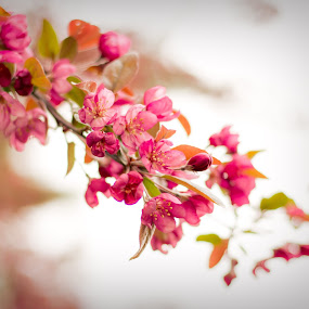 Springtime Bloom by Robin Seaholm - Flowers Tree Blossoms ( blooms, spring, pink, blossom, springtime, bloom, leaves, blossoms, buds, trees )