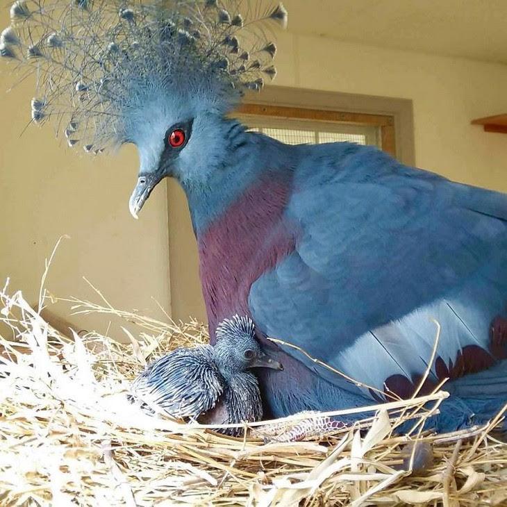 2. Victoria Crowned Pigeon