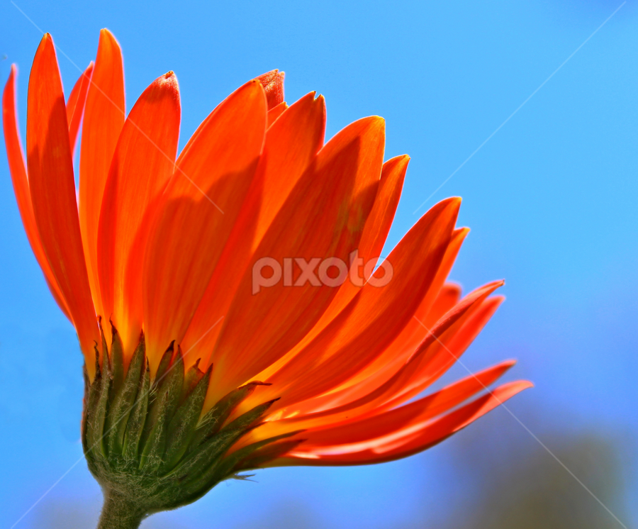 A bright Orange flower by Dipali S - Nature Up Close Gardens & Produce ( orange, pwcsummer, sky, blue, flower, summer flower )