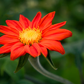 Red Flower by Darrell Evans - Flowers Single Flower ( floral, green, nature, flora, petals, flower, outdoor, bloom, plant, growth, stamen, no people, stem )