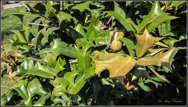 Photo: Laur (Ilex aquifolium variegata) - de pe Str. Andrei Muresanu - 2017.03.31